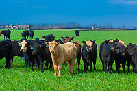 Cattle, Old Frankfort Pike, Lexington, Kentucky USA