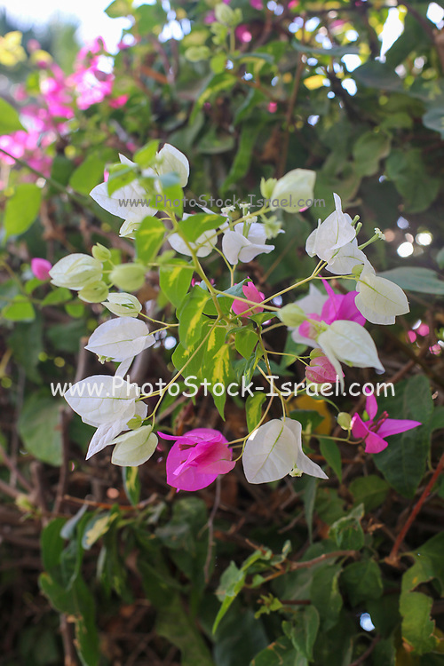 Pink and white flowers of a Bougainvillea bush close up