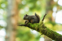This small and noisy dark squirrel was heard long before I spotted it in the trees. After about a thirty minute hunt, I gave up - only to have it appear twenty feet in front of me, perfectly posed for this image.