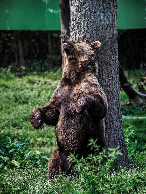 Brown Bears scratches his back on a tree, Ursus arctos, Great Adventure Safari, New Jersey