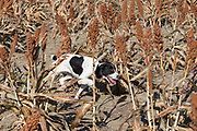 Pheasant hunting with English Springer spaniels in North Dakota