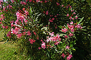 Flowering pink Oleander (Nerium oleander) on a blue sky background Photographed in Israel in June