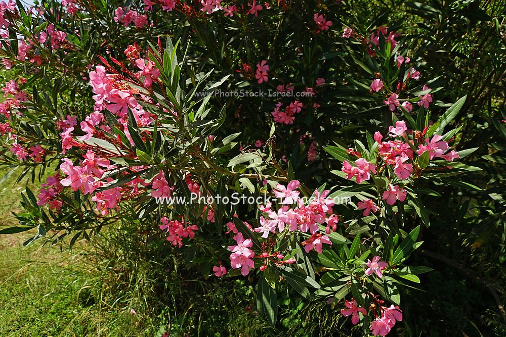 Flowering pink Oleander (Nerium oleander) on a blue sky background Photographed in Israel in June