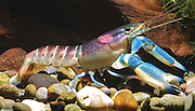 """New 'Galaxy' Crayfish Discovered In Indonesia Has A Nebula On Its Shell<br /> <br /> A German scientist recently discovered what is possibly the most beautiful crayfish in the world – Cherax pulcher. This little freshwater cousin of the shrimp and lobster, native to Indonesia, has a vividly colorful shell that looks like a cosmic nebula or a tropical sunset.<br /> This beautiful crayfish's discovery by Christian Lukhaup came with an ironic twist – the pet trade industry has actually known about and traded this species for years, but knew nothing about it other than where it can be found. Lukhaup began his search when he saw a photo of it, eventually tracking it down to Hoa Creek in the Indonesian part of New Guinea.<br /> Unfortunately, the study in which Lukhaup first described the creature also details how threatened it is by aquarium collectors. """"The continued collection of these crayfish for the trade is not a sustainable practice, and if the popularity of the species continues, a conservation management plan will have to be developed,"""" he writes.<br /> ©Christian Lukhaup /Exclusivepix Media"""