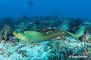 divers observe free-swimming green moray eel, Gymnothorax funebris, Playa del Carmen, near Cancun, Quintana Roo, Yucatan Peninsula, Mexico ( Caribbean Sea )