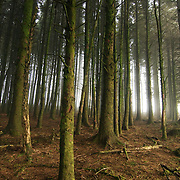 A forest of lined up pine trees at Dartmoor