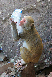 Rhesus Macaque Monkey Drinking From Plastic Container, Mount Popa