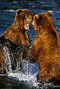 Image of two grizzly bears (Ursus arctos horribilis) fighting, Brooks Falls, Katmai National Park, Alaska, Pacific Northwest by Randy Wells
