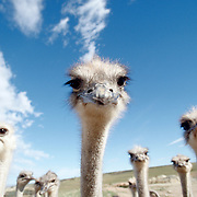 Oudtshoorn  Syd Afrika 2003 <br /> South Africa<br /> <br /> Strutsarnas huvudstad <br /> finns ingen stad i världen med så många strutsar strutsfarm struts fjäder<br /> <br /> <br /> <br /> <br /> FOTO : JOACHIM NYWALL KOD 0708840825_1<br /> COPYRIGHT JOACHIM NYWALL<br /> <br /> ***BETALBILD***<br /> Redovisas till <br /> NYWALL MEDIA AB<br /> Strandgatan 30<br /> 461 31 Trollhättan<br /> Prislista enl BLF , om inget annat avtalas.