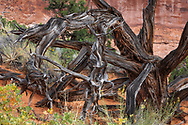 A dead Bristlecone Pine tree at Arches National Park, Utah, USA