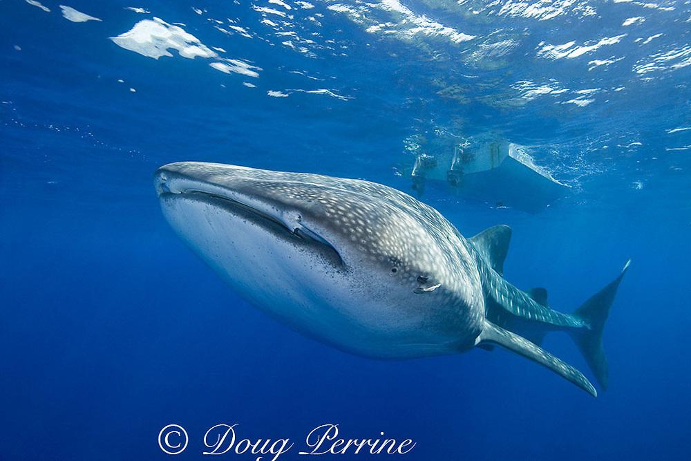 whale shark ( Rhincodon typus ), Kona Coast of Hawaii Island ( the Big Island ), Hawaiian Islands, USA ( Central Pacific Ocean )