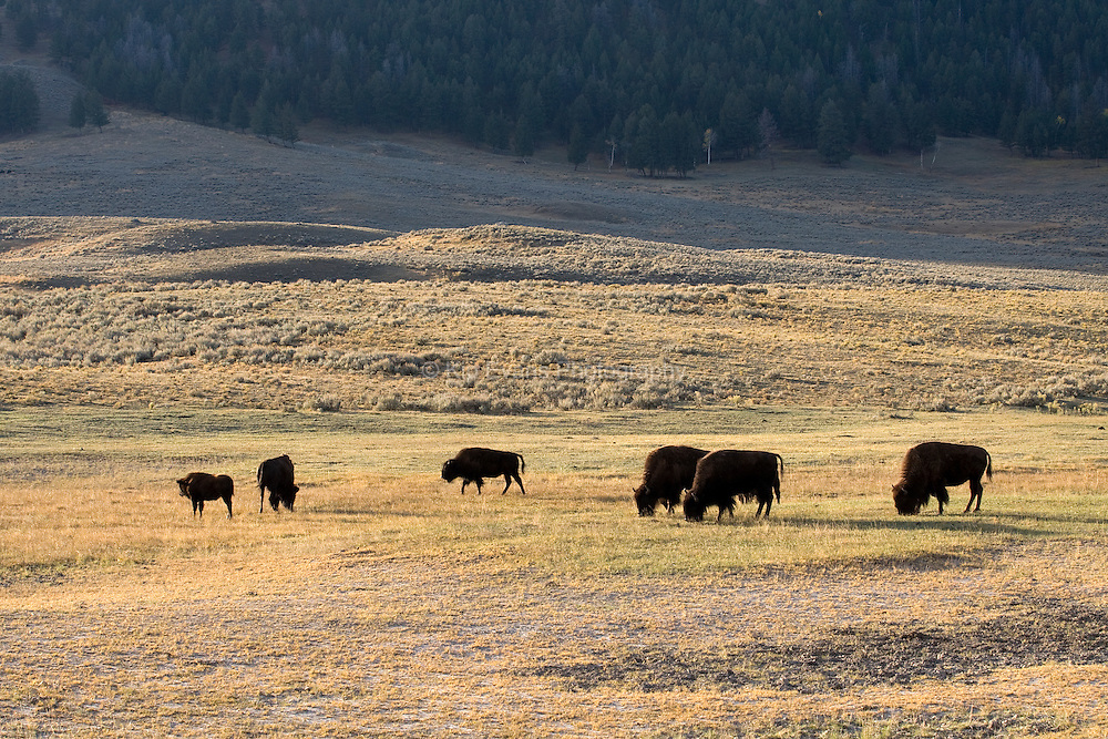 American Bison grazing in Yellowstone National Park.