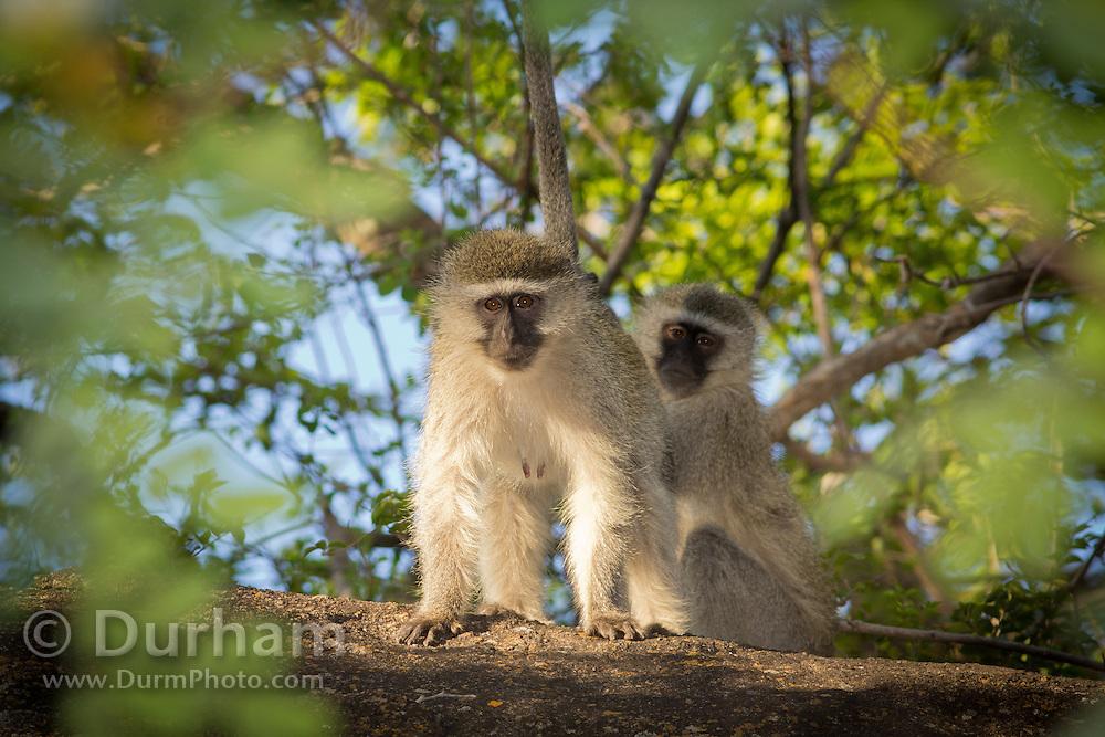 Vervet monkeys (Chlorocebus pygerythrus) in Matobo National Park, part of the Motopos Hiils area in Zimbabwe. The park is an U.N. UNESCO World Hertiage Site. © Michael Durham / www.DurmPhoto.com