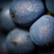 Pinot Noir grapes at Champagne Mumm at Mailly vineyard.G. H. Mumm & Cie, situated in Reims in northern France, is one of the largest Champagne producers and it is currently ranked 3rd globally based on number of bottles sold. The company is owned by Pernod Ricard.