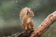Red squirrel, Sciurus vulgaris, winter coat, on pinewood stump in snow shower, Strathspey, Highland.<br /> Steve Austin<br /> 26/05/2005
