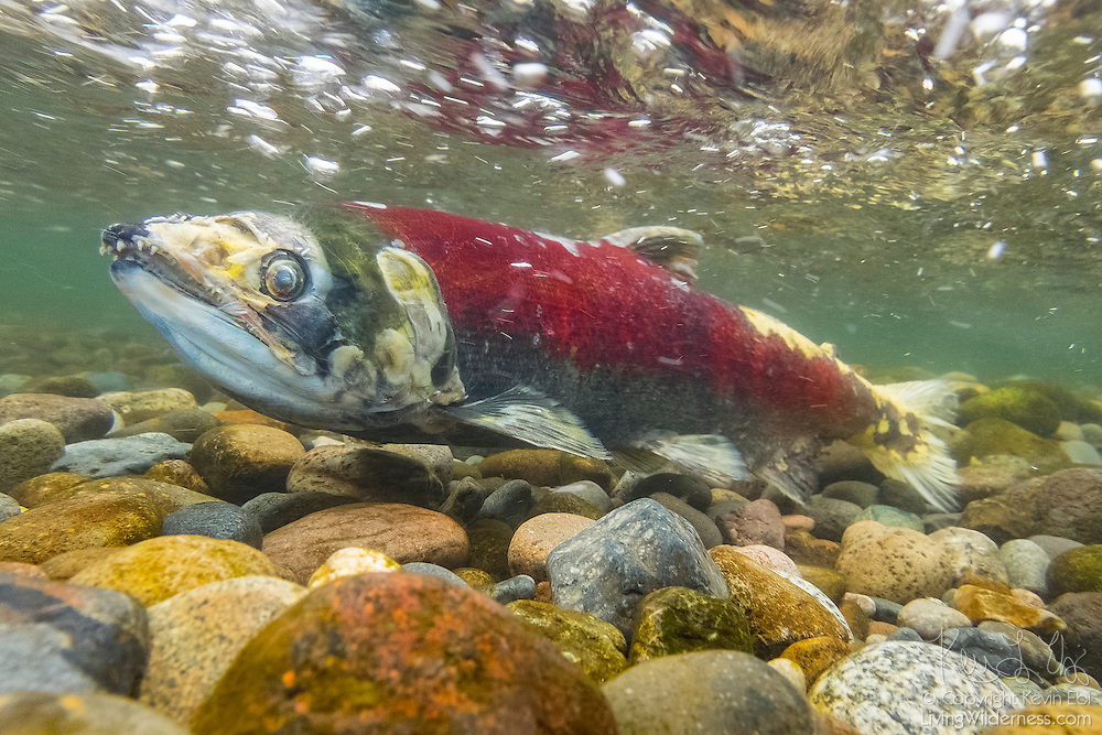 A battered sockeye salmon (Oncorhynchus nerka) displaying its breeding coloration fights its way up the Cedar River in Renton, Washington, on its way to spawn. Sockeye salmon are also known as blueback salmon, as they are blue tinged with silver while they live in the ocean; they turn red once they return to their freshwater spawning grounds.