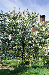 Malus hupehensis in blossom