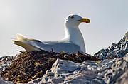 Glaucous Gull (Larus hyperboreus) nesting at Hornsund, south-western Spitsbergen, Svalbard.