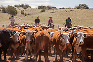 Spring Round up of calves