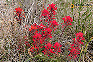 Indian Paintbrush in Great Basin National Park, Nevada, USA