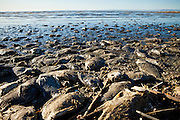 Dead talipia pile along the coast of the Salton Sea  Imperial Valley, CA. The fish die from lack of oxygen and salt concentrations.