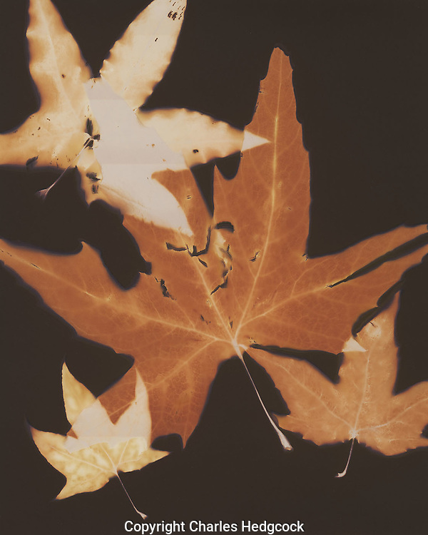 """Lumen print of Sycamore leaves from the Santa Catalina Mountains near Tucson,Arizona. Available to license and as limited edition archival 20""""x24"""" prints."""