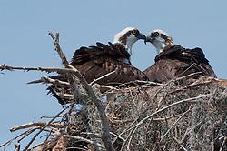 Ospreys (Pandion haliaetus), Blue Cypress Lake, Vero Beach, Florida, US