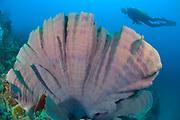 Purple Elephant ear sponge (Ianthella basta) with diver,Restorf Island, Kimbe bay