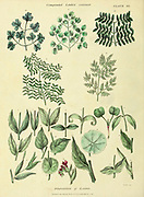 Disposition of leaves from Vol 1 of the book The universal herbal : or botanical, medical and agricultural dictionary : containing an account of all known plants in the world, arranged according to the Linnean system. Specifying the uses to which they are or may be applied By Thomas Green,  Published in 1816 by Nuttall, Fisher & Co. in Liverpool and Printed at the Caxton Press by H. Fisher