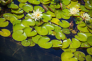 The Lily Pond at Balboa Park San Diego