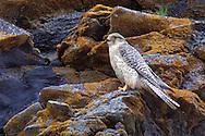 Gyrfalcon - Falco rusticolus - Adult (gray morph)