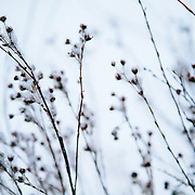 Service berry bushes get their first dose of winter near Jackson, Wyoming.