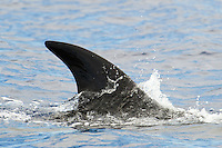 Sei whale, Balaenoptera borealis, Pico, Azores, Portugal