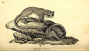 Murine Lemur from General zoology, or, Systematic natural history Part I, by Shaw, George, 1751-1813; Stephens, James Francis, 1792-1853; Heath, Charles, 1785-1848, engraver; Griffith, Mrs., engraver; Chappelow. Copperplate Printed in London in 1800. Probably the artists never saw a live specimen