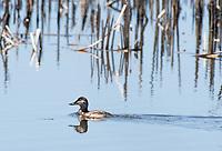 Female Ruddy Duck, Oxyura jamaicensis, swimming at Tule Lake National Wildlife Refuge, Oregon