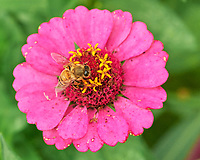 Bee working a Zinnia flower. Image taken with a Leica SL2 camera and 24-90 mm lens.