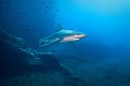 Carcharhinus galapagensis (Galapagos Shark)