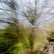 Birch trees as seen in high speed through a car window