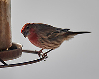 House Finch (Haemorhous mexicanus). Image taken with a Nikon D850 camera and 600 mm f/4 VR lens.