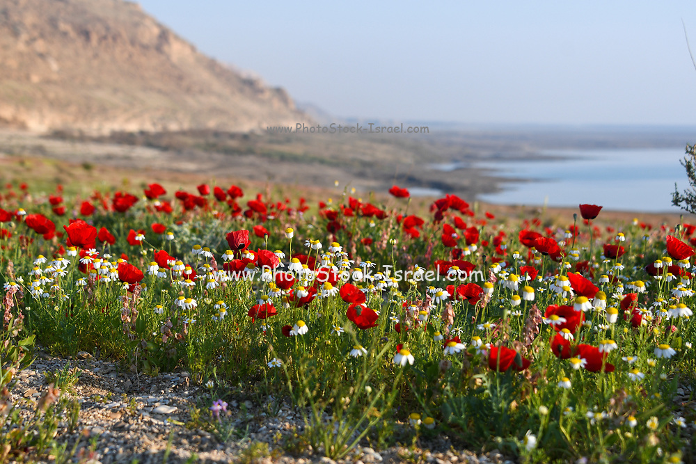 A meadow of red poppy (papaver) flowers at sunset. After a rare rainy season in the Judaea Desert and on the shores of the Dead Sea an abundance of wildflowers sprout out and bloom. Knotweed sorrel (Rumex cyprius syn Rumex roseus) Photographed on the shores of the Dead Sea, Israel at sunset in February