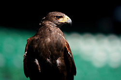 Rufus the Hawk is a Harris's Hawk used by the All England Lawn Tennis and Croquet Club to keep pigeons away from their venue pictured on day two of the Wimbledon Championships at the All England Lawn Tennis and Croquet Club, Wimbledon.