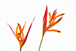 Heliconia, Golden Torch#5