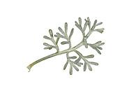 Sea Wormwood - Artemisia maritima