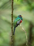 Collared Trogon male, Mashpi Reserve, Ecuador, South America