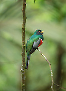 Collared Trogon male, Mashpi Reserve, Ecuador, South America