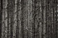White Birch in pine forest in Zagan, Poland.