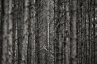 White Birch in pine forest in Zagan, Poland.