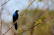 Rueppell's Glossy-Starling, Grumet, Tanzania, East Africa