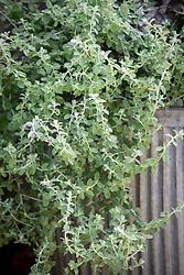 Helichrysum microphyllum syn. Plecostachys serpyllifolia - Dwarf curry plant