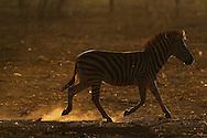 Plains Zebra, Equus quagga, Zimanga Private Nature Reserve, KwaZulu Natal, South Africa